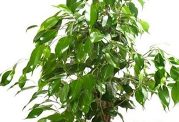 Grünpflanzen auf Messestand - Ficus benjamina